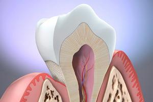 Tooth Anatomy | Drug Discrimination Database